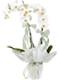 beyaz orkide anlami