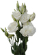 Beyaz Lisyantus Çiçeği