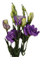 Mor Lisyantus Çiçeği